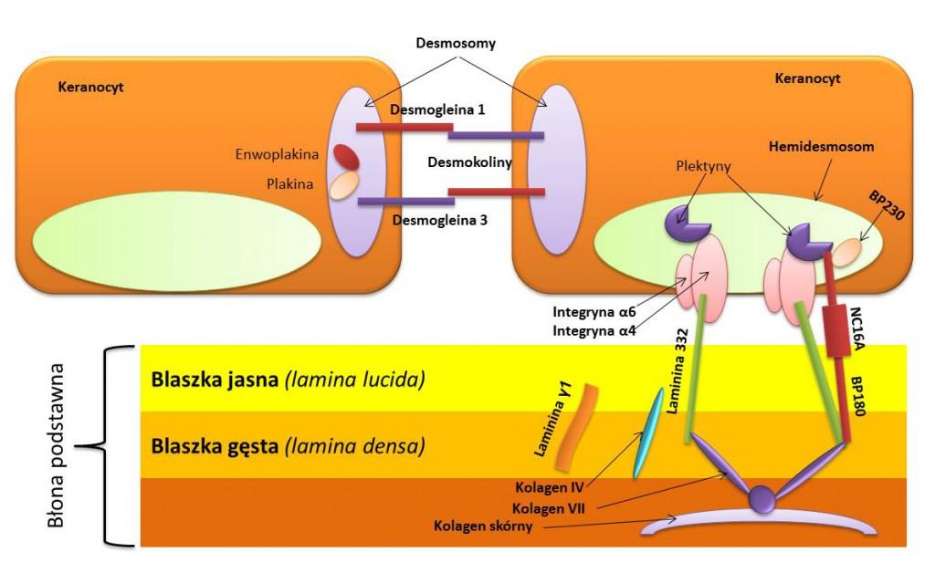 Choroby pęcherzowe skóry o podłożu autoimmunologicznym